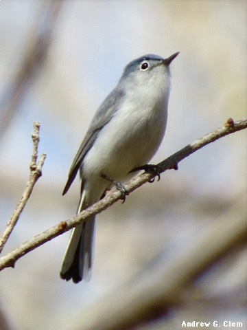 Blue-grayGnatcatcher