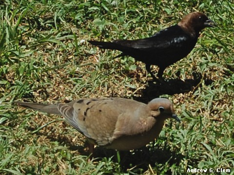 Cowbird, Mourning Dove