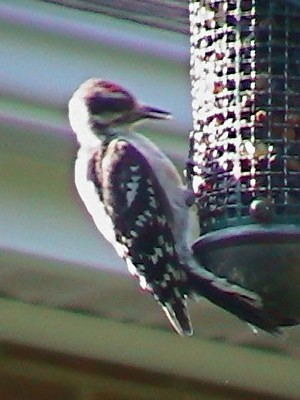 Red-crowned (juv.) Downy Woodpecker