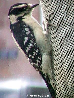 Downy woodpecker at window
