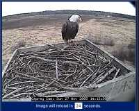 Eagle at Webcam