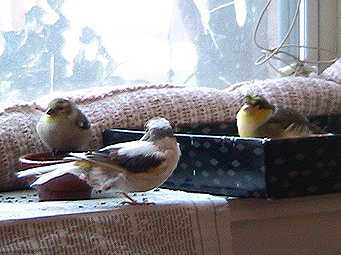 Goldfinch, Princess, George