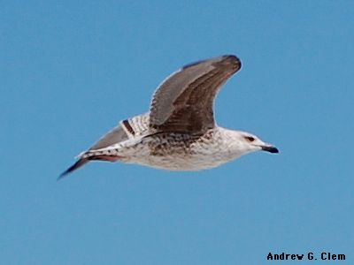 Gull (juvenile) flying