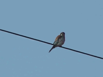Kestrel on wire