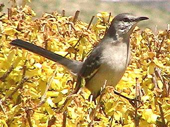 Mockingbird on Forsythia bush