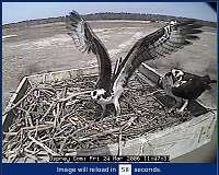 Ospreys Webcam