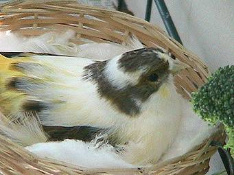 Princess in nest, broccoli