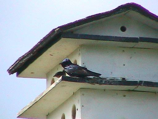 Purple Martin, house