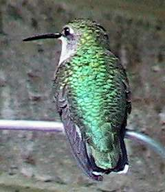 Ruby-throated hummer (F) perched
