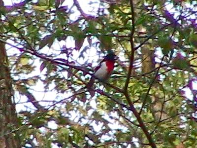 Rose-breasted Grosbeak M