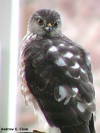Sharp-shinned hawk closeup