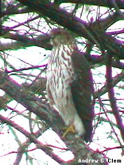 Sharp-shinned Hawk juvenile