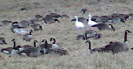 Snow Geese, Canada Geese