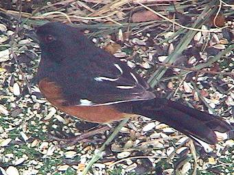 Towhee on the porch