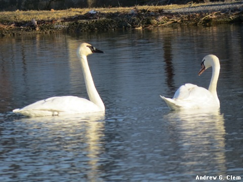 Trumpeter, Mute Swans