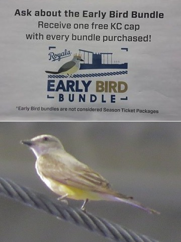 Western Kingbird in Kauffman Stadium