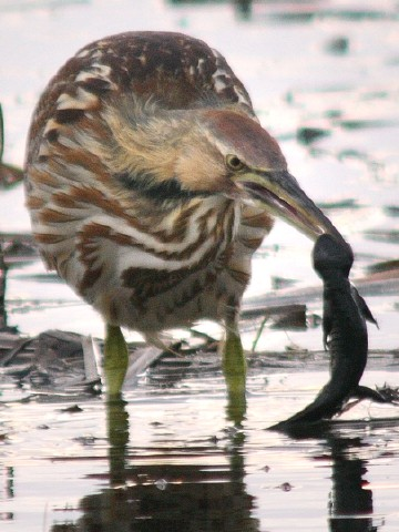 Bittern eating salamander
